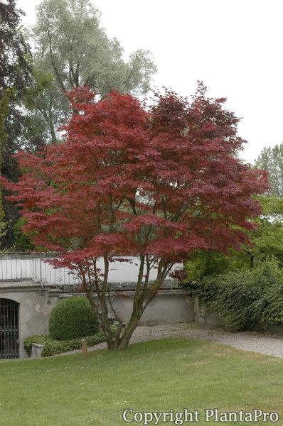 acer palmatum 39 atropurpureum 39 laubgeh lze pflanzen. Black Bedroom Furniture Sets. Home Design Ideas