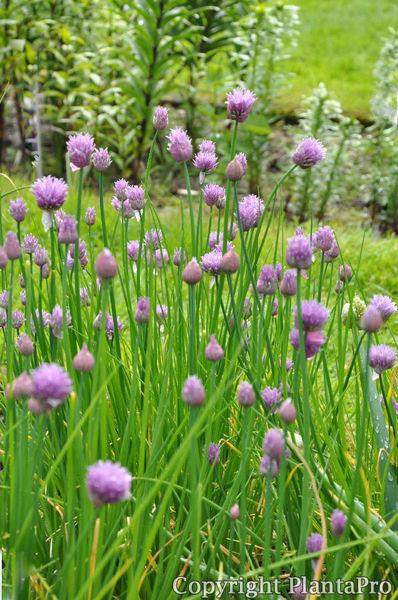 allium schoenoprasum kr uter pflanzen k rner. Black Bedroom Furniture Sets. Home Design Ideas