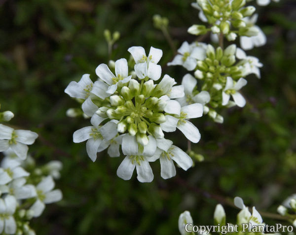 arabis ferdinandi coburgii 39 variegata 39 stauden pflanzen k rner. Black Bedroom Furniture Sets. Home Design Ideas