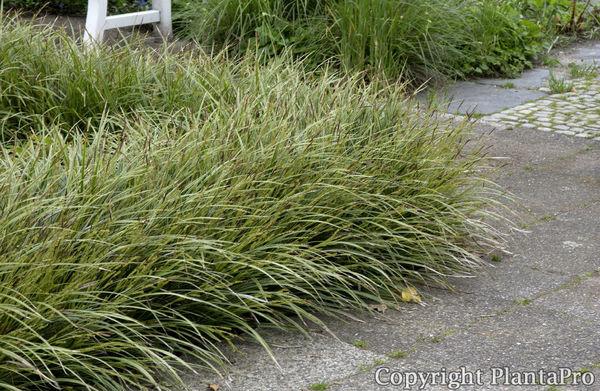 carex morrowii 39 variegata 39 gr ser pflanzen k rner. Black Bedroom Furniture Sets. Home Design Ideas