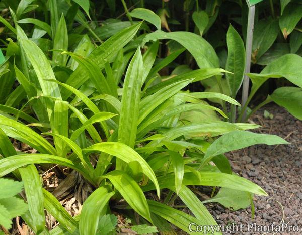carex plantaginea gr ser pflanzen k rner. Black Bedroom Furniture Sets. Home Design Ideas