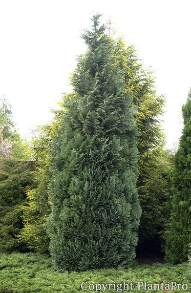 chamaecyparis laws 39 columnaris 39 koniferen pflanzen. Black Bedroom Furniture Sets. Home Design Ideas
