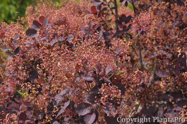 cotinus coggygria 39 royal purple 39 laubgeh lze pflanzen k rner. Black Bedroom Furniture Sets. Home Design Ideas