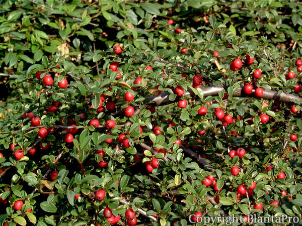 Cotoneaster dammeri radicans  Laubgehölze  Pflanze