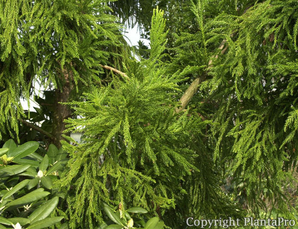 cryptomeria japonica 39 cristata 39 pflanzen k rner. Black Bedroom Furniture Sets. Home Design Ideas