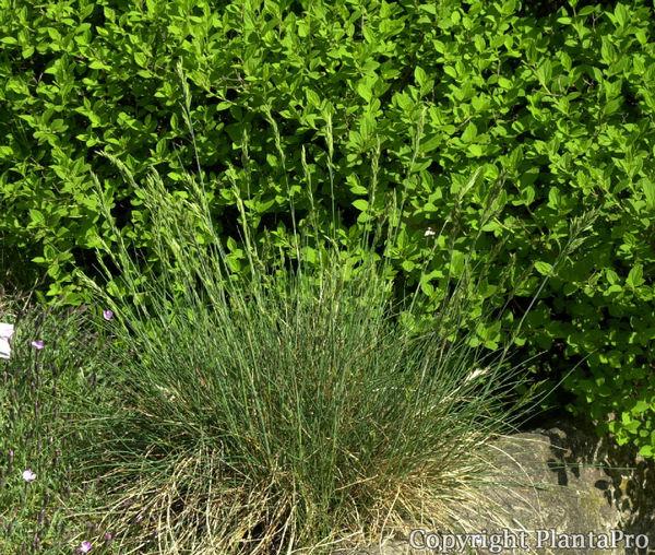 festuca amethystina gr ser pflanzen k rner. Black Bedroom Furniture Sets. Home Design Ideas