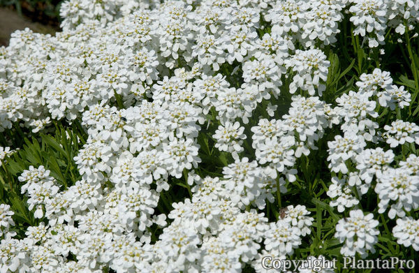 iberis sempervirens 39 schneeflocke 39 stauden pflanzen k rner. Black Bedroom Furniture Sets. Home Design Ideas