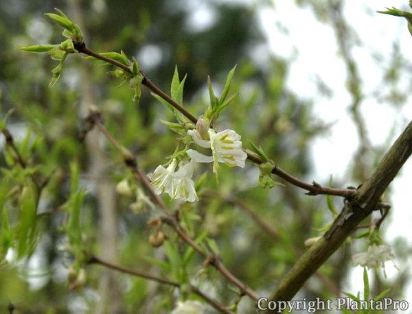 lonicera purpusii pflanzen k rner