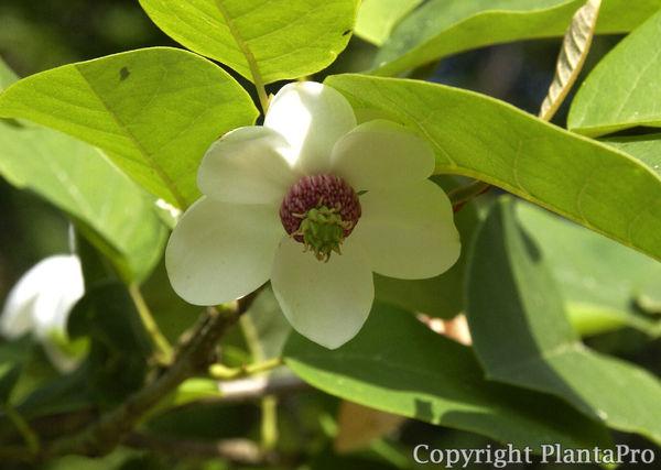 magnolia sieboldii laubgeh lze pflanzen k rner. Black Bedroom Furniture Sets. Home Design Ideas