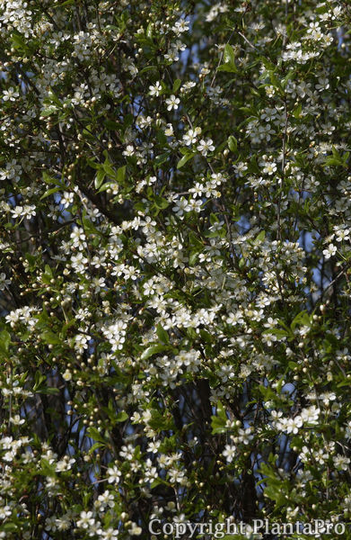 prunus fruticosa 39 globosa 39 cac pflanzen k rner. Black Bedroom Furniture Sets. Home Design Ideas