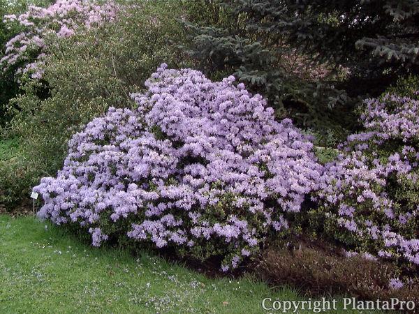 rhododendron impeditum 39 moerheim 39 i azaleen pflanzen. Black Bedroom Furniture Sets. Home Design Ideas