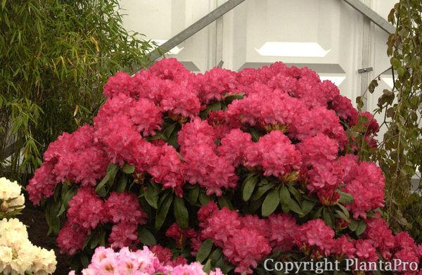 rhododendron sorten gro blumige rhododendron hybriden. Black Bedroom Furniture Sets. Home Design Ideas