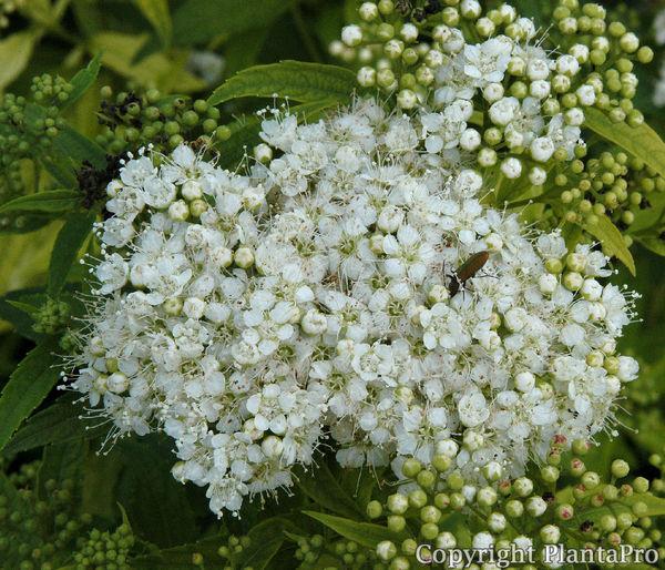 spiraea japonica 39 albiflora 39 laubgeh lze pflanzen k rner. Black Bedroom Furniture Sets. Home Design Ideas