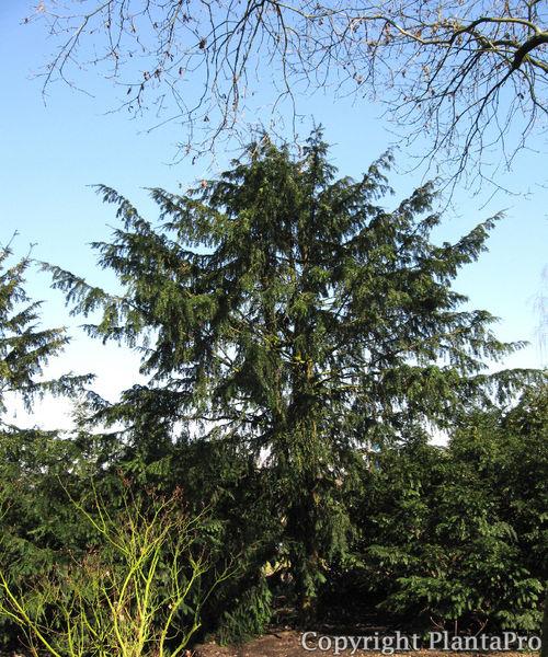 pin taxus baccata dovastonii aurea yew berries sept 21. Black Bedroom Furniture Sets. Home Design Ideas
