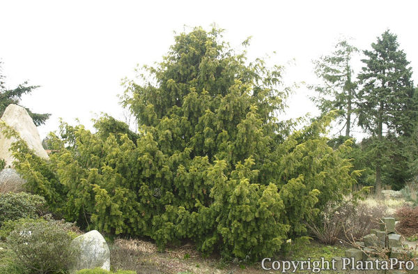 taxus baccata 39 dovastonii aurea 39 koniferen pflanzen. Black Bedroom Furniture Sets. Home Design Ideas