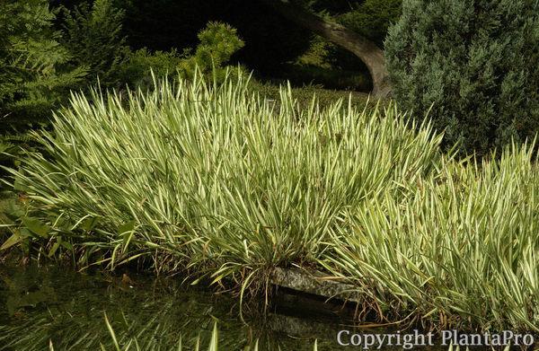 acorus calamus 39 variegatus 39 wasserpflanzen pflanzen k rner. Black Bedroom Furniture Sets. Home Design Ideas