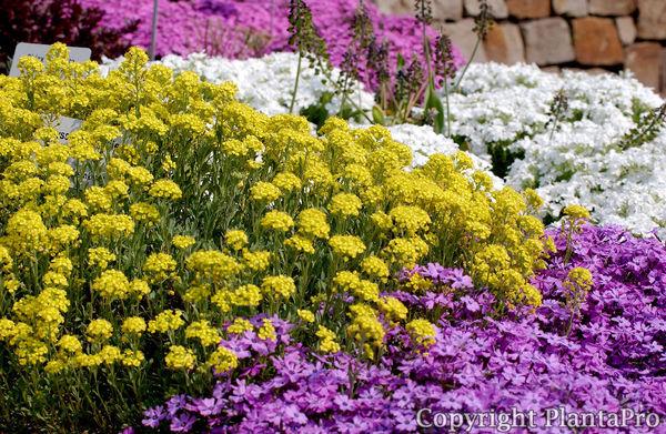alyssum saxatile 39 goldkugel 39 stauden pflanzen k rner. Black Bedroom Furniture Sets. Home Design Ideas