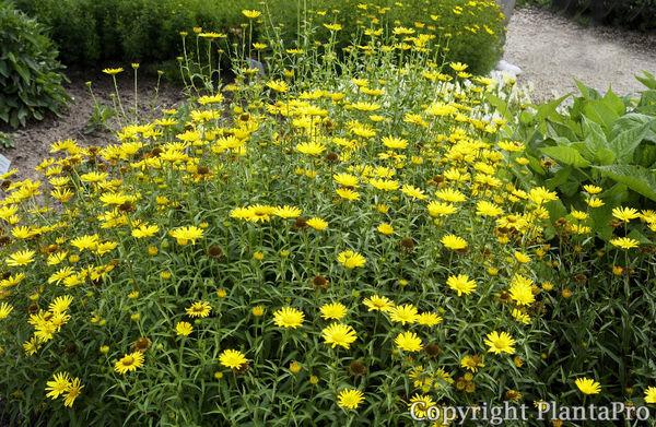buphthalmum salicifolium stauden pflanzen k rner. Black Bedroom Furniture Sets. Home Design Ideas