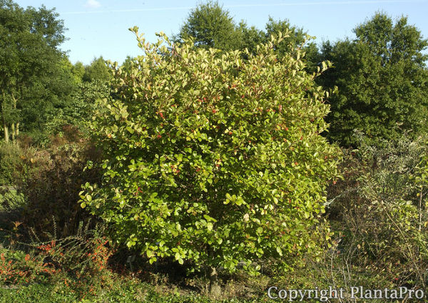 crataegus prunifolia laubgeh lze pflanzen k rner. Black Bedroom Furniture Sets. Home Design Ideas