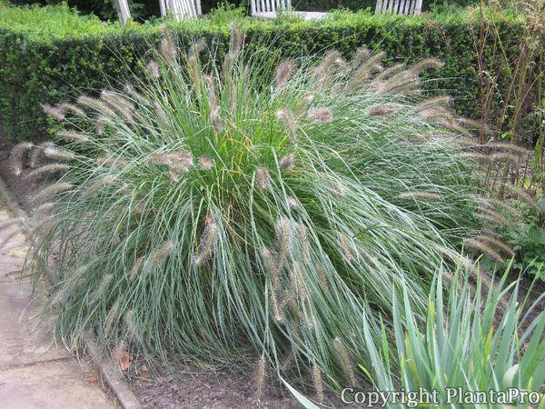 pennisetum alopecuroides 39 hameln 39 gr ser pflanzen. Black Bedroom Furniture Sets. Home Design Ideas