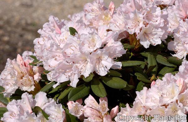 rhododendron hybr 39 jacksonii 39 iii rhododendren pflanzen k rner. Black Bedroom Furniture Sets. Home Design Ideas