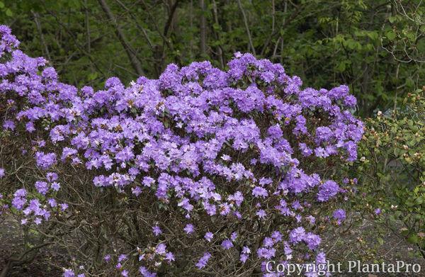 rhododendron impeditum 39 blumiria 39 i azaleen pflanzen k rner. Black Bedroom Furniture Sets. Home Design Ideas