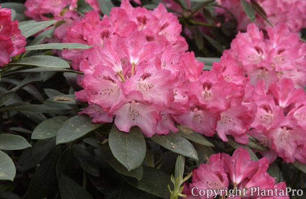 rhododendron yak 39 sneezy 39 i yakushimanum sorten pflanzen k rner. Black Bedroom Furniture Sets. Home Design Ideas