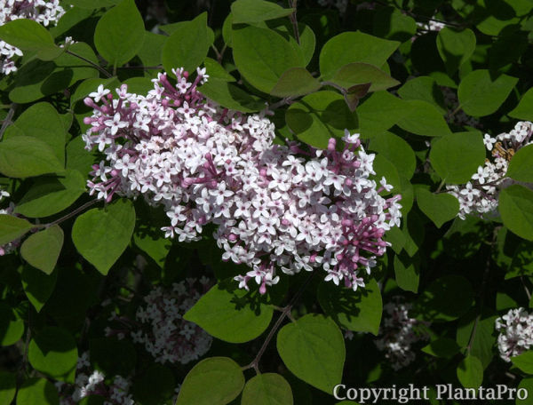 syringa microphylla 39 superba 39 laubgeh lze pflanzen k rner. Black Bedroom Furniture Sets. Home Design Ideas