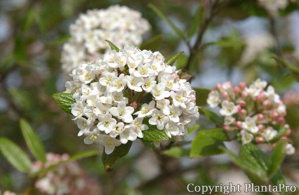 viburnum burkwoodii laubgeh lze pflanzen k rner. Black Bedroom Furniture Sets. Home Design Ideas